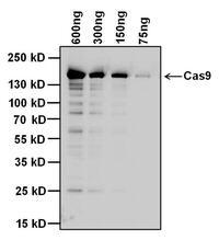 Cas9 Antibodies For Western Blot Antibody Resource Page